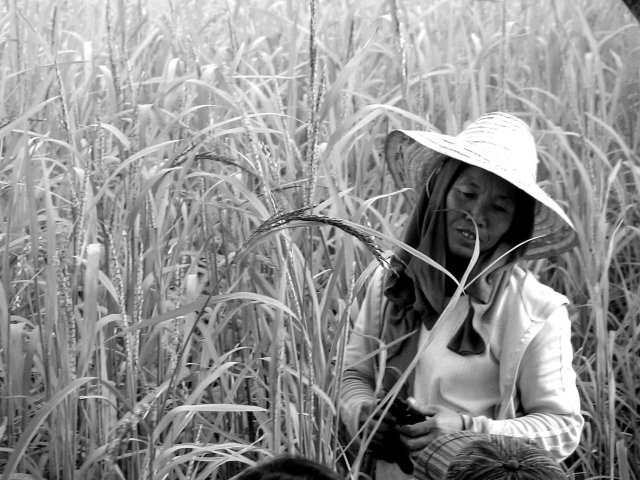 Women are at the helm of the various processes in traditional farming. With the increasing shift to mechanisation in Thai agriculture, women's roles are also reconfigured. So are the quality of their harvest and their relationships with communities and nature.